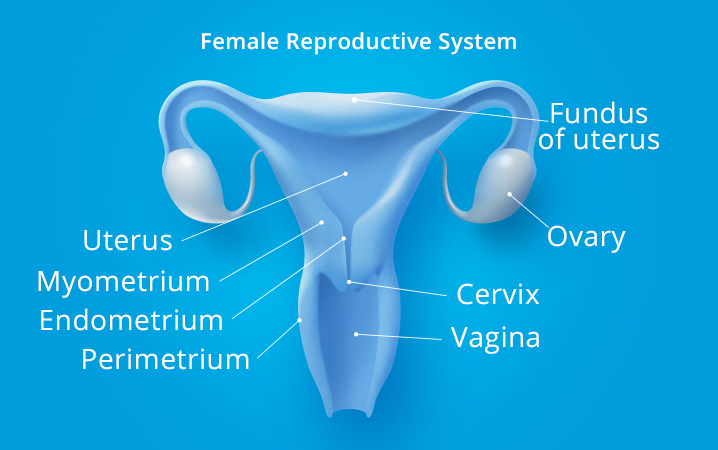 parts of the female reproductive system