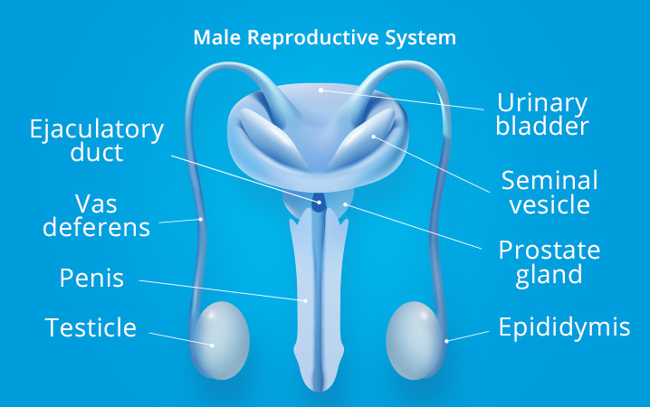 parts of the male reproductive organ